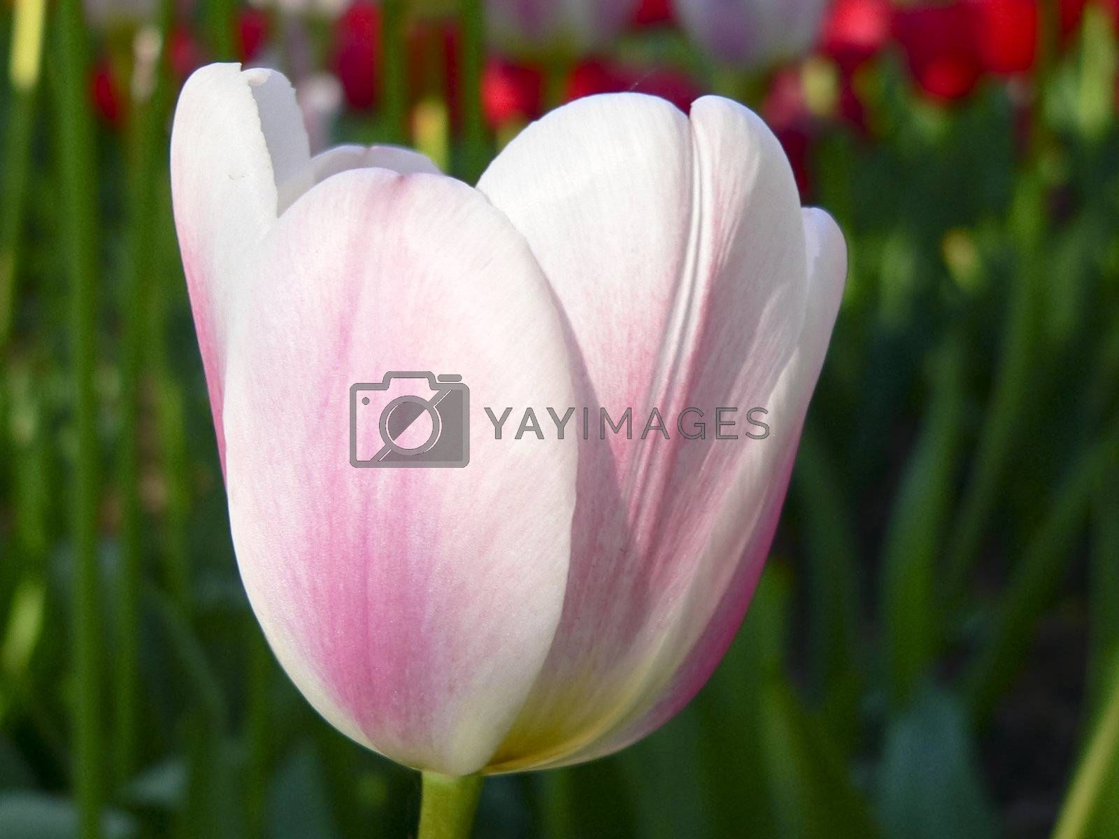 Close up beautiful single pink and white tulip in park