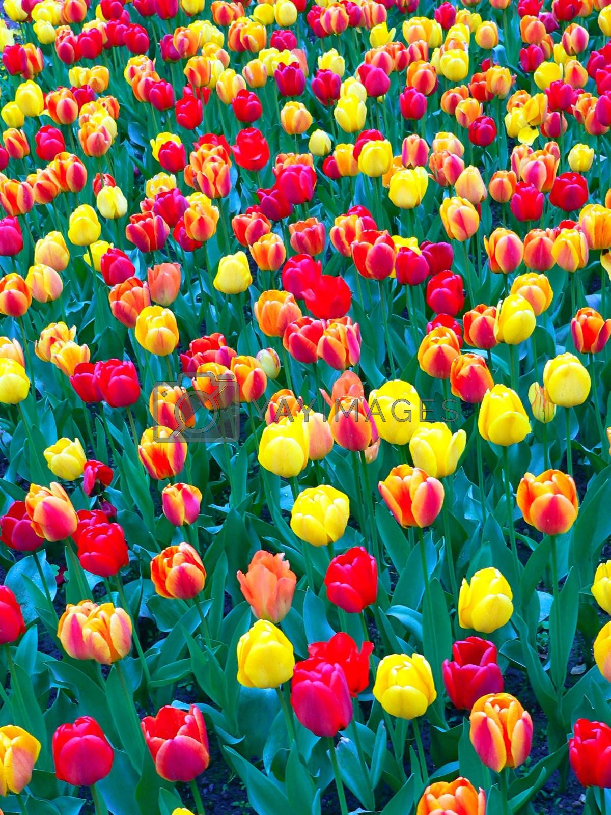 Beautiful tulips in park in spring