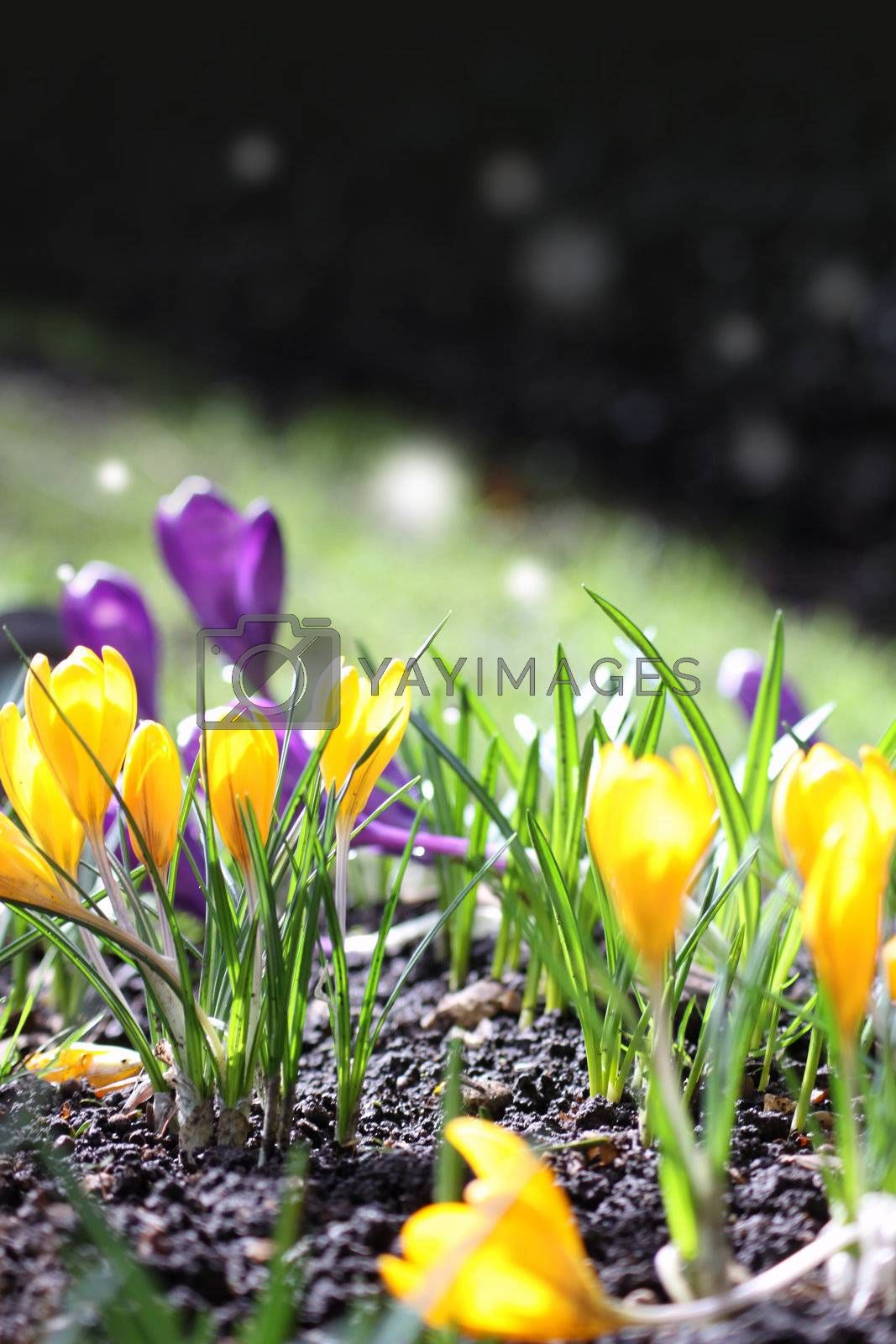 The first Spring blooms of yellow and violet crocus in the spring sunshine. Middle distance focus on a portrait format.