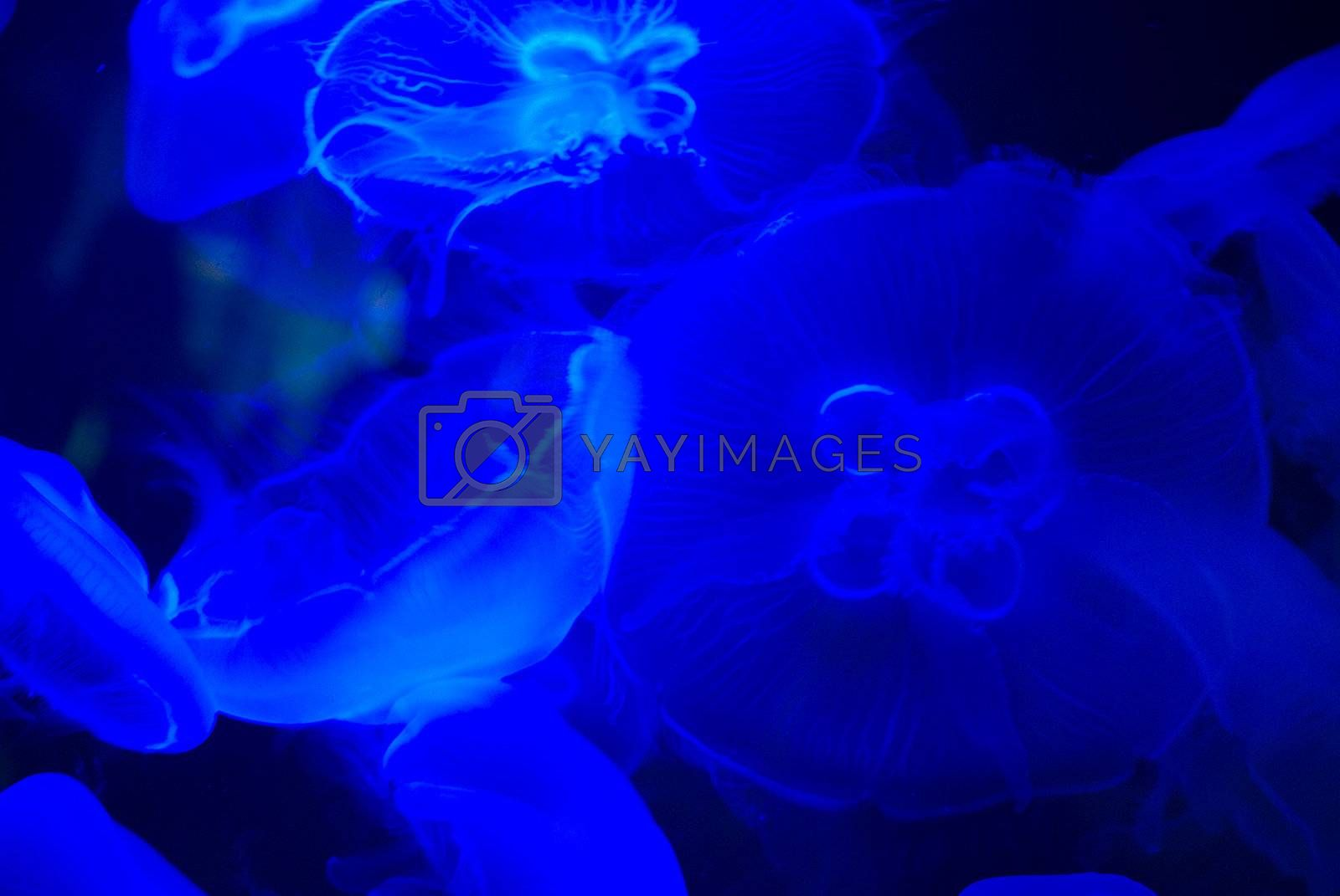 many beautiful blue moon jellyfish in aquarium