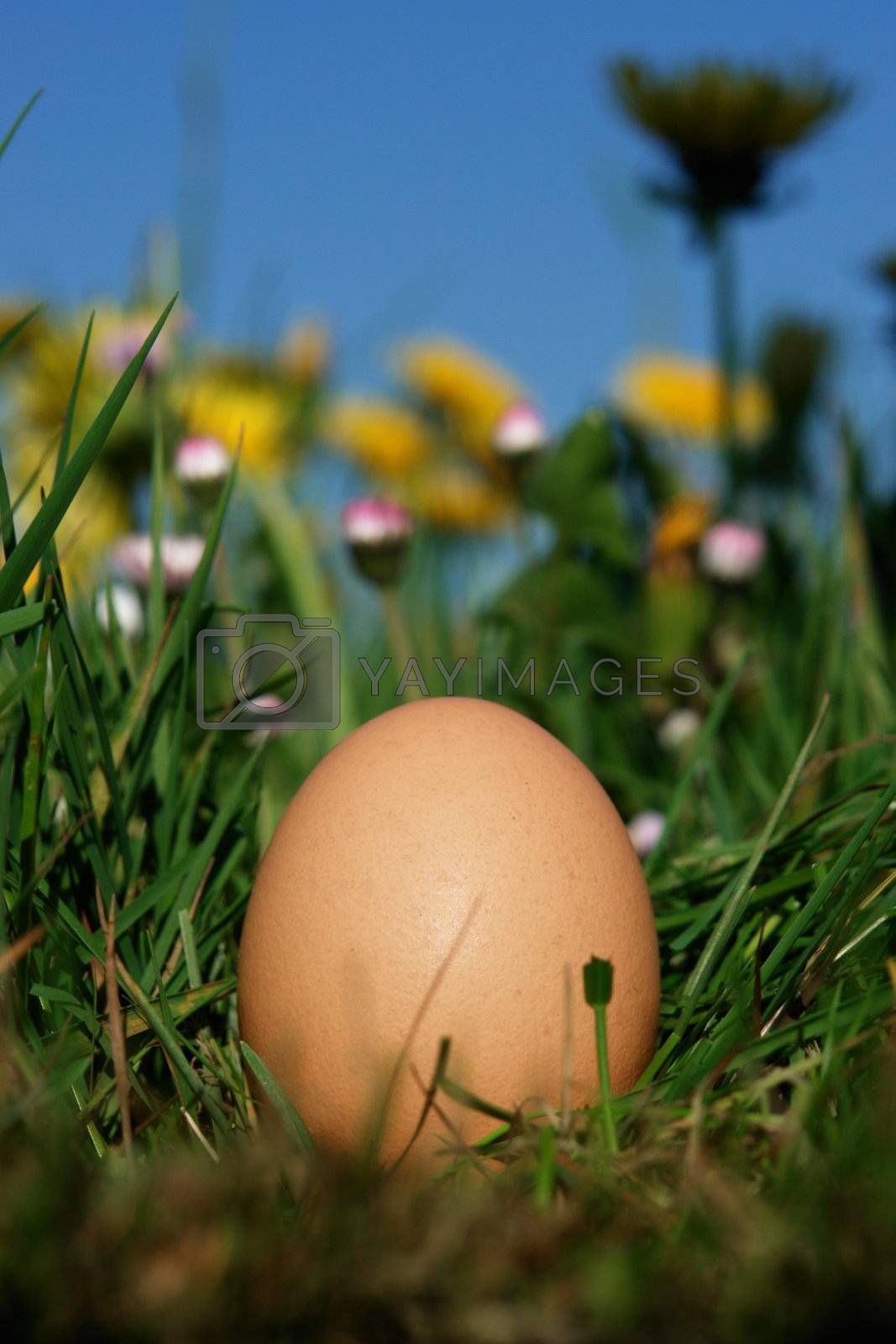 organic eggs in the meadow on a sunny day