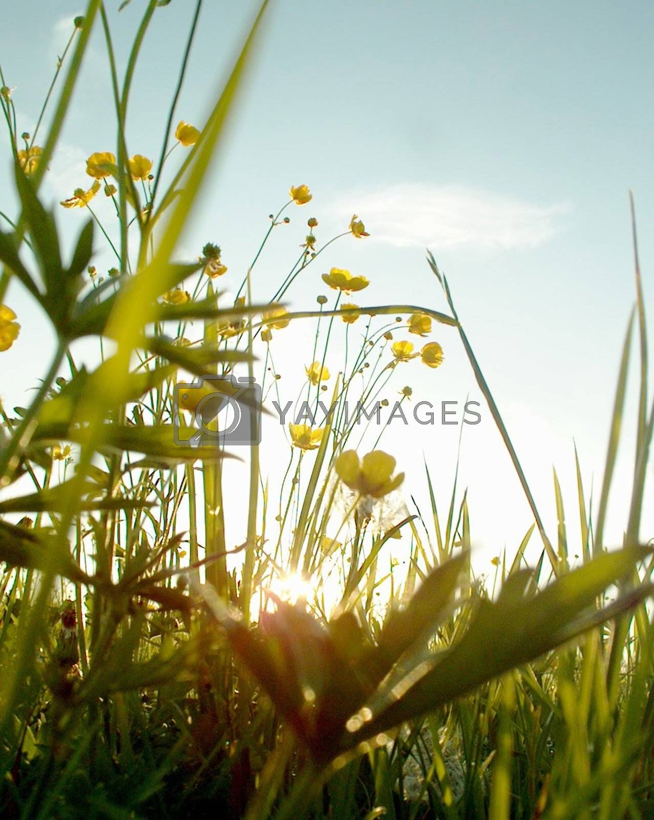 Landscape at springtime Springflowers in a Field