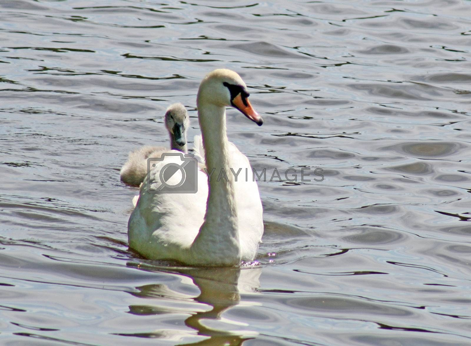 swan and baby on a lake