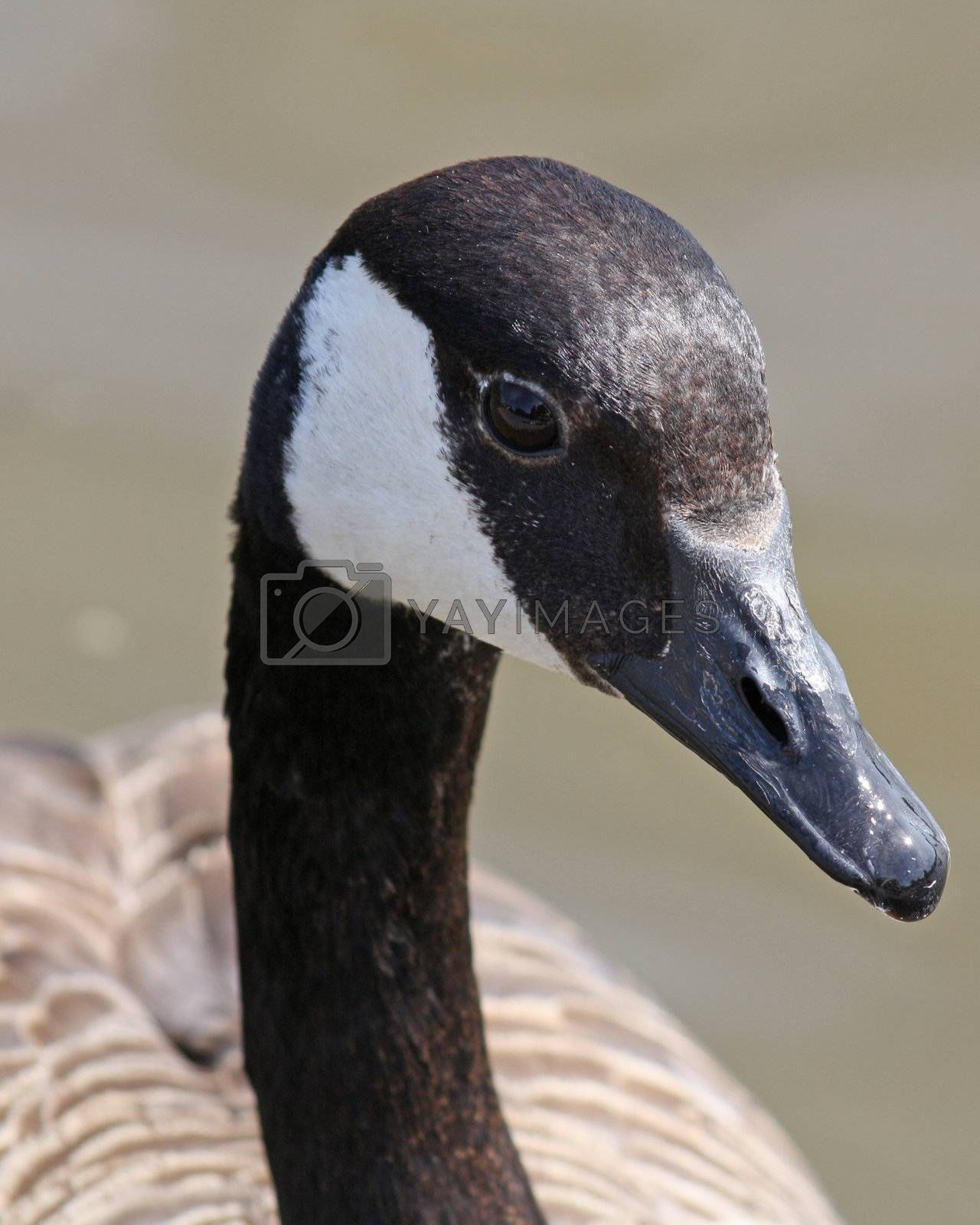 Royalty free image of close up duck 4 by lizapixels