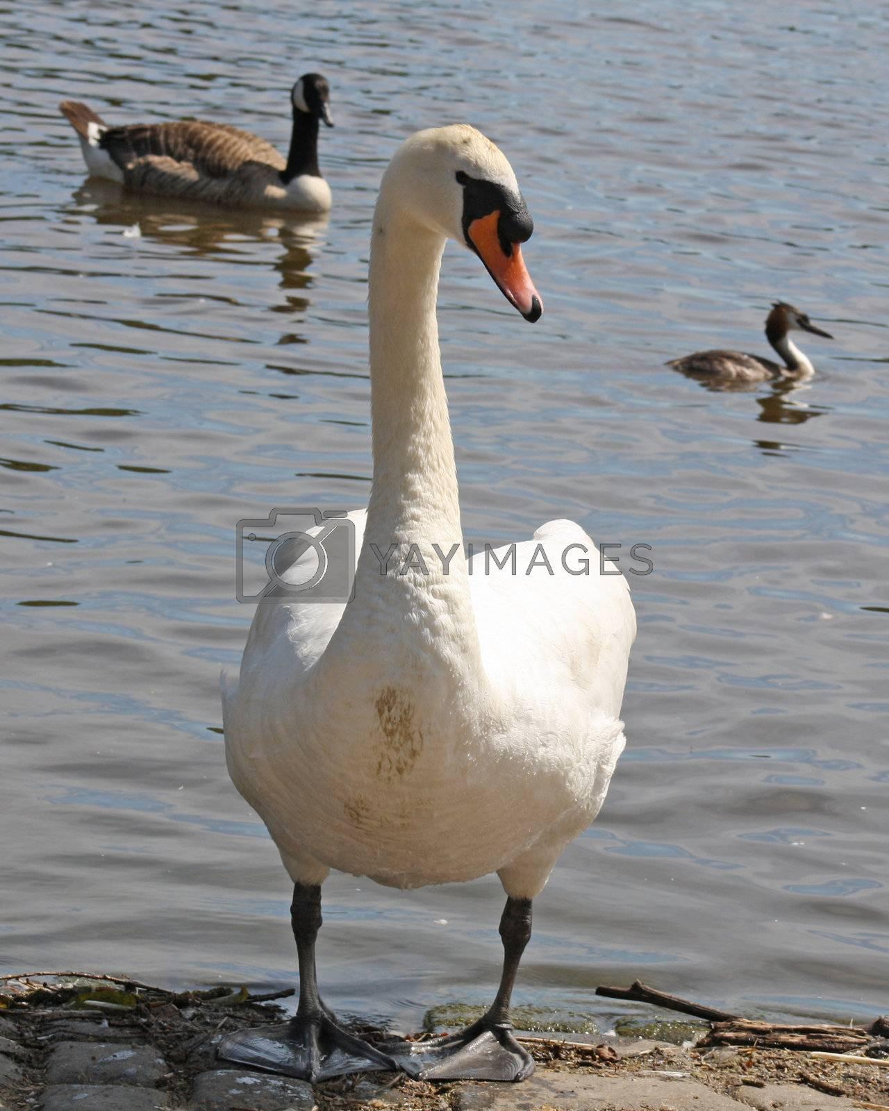 Royalty free image of swan by lizapixels