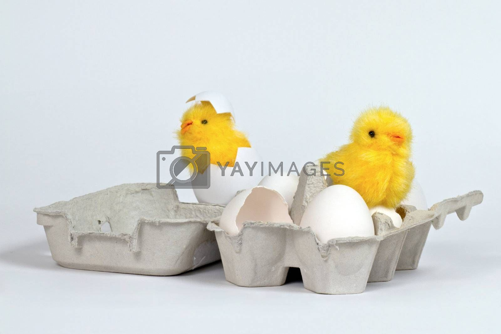 Newly hatched toy chicks in eggbox with white eggs. Hi-key