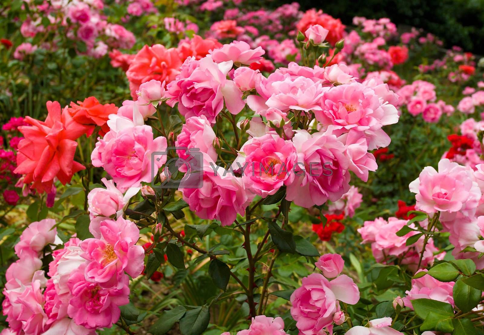 bush of beautiful pink roses