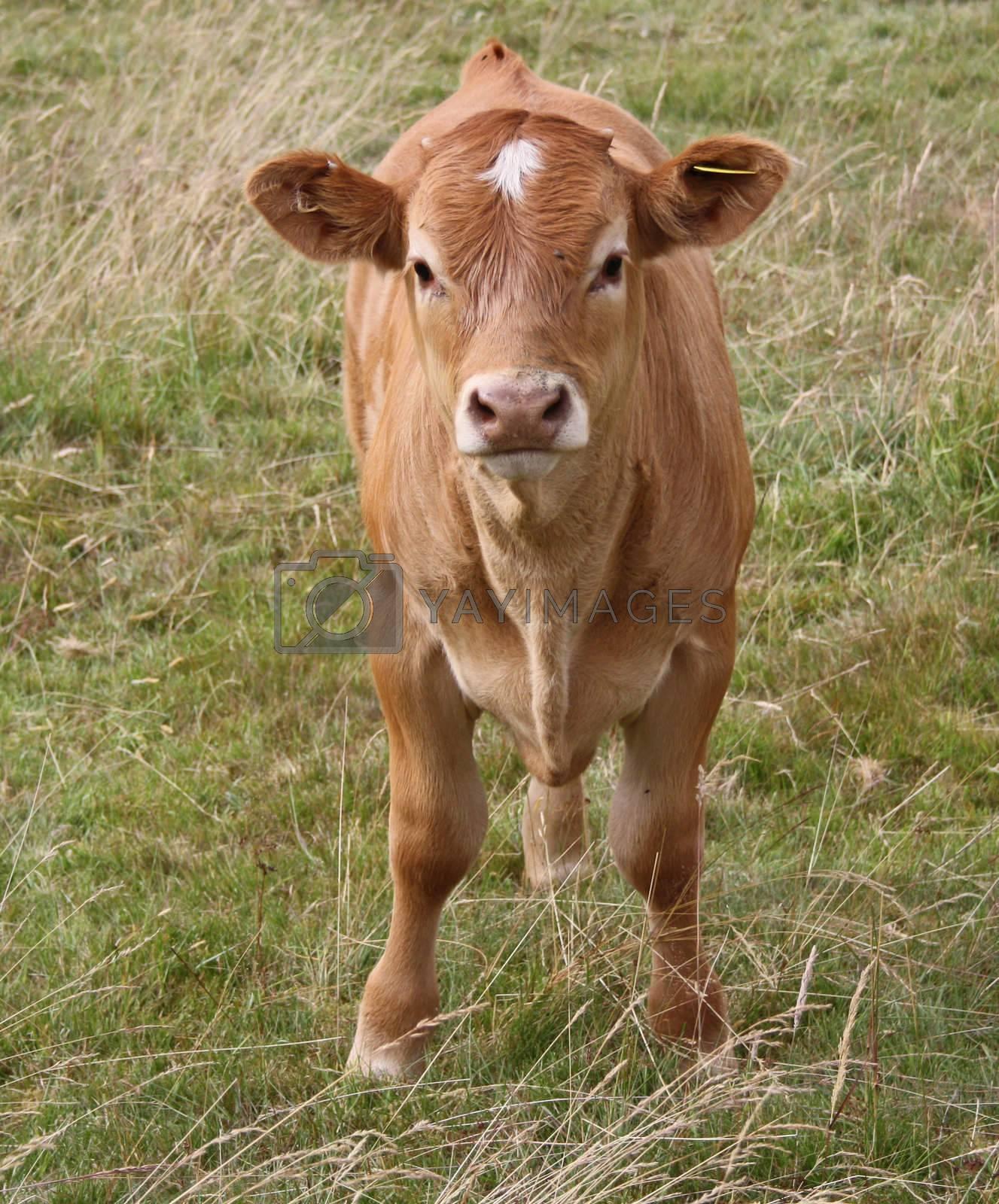 Royalty free image of cow grazing in field 2 by lizapixels