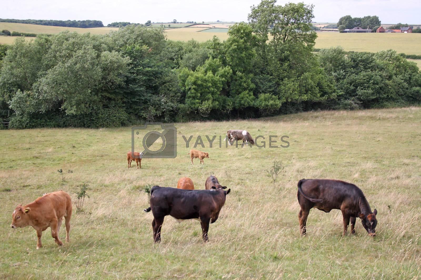 a cow grazing in a field