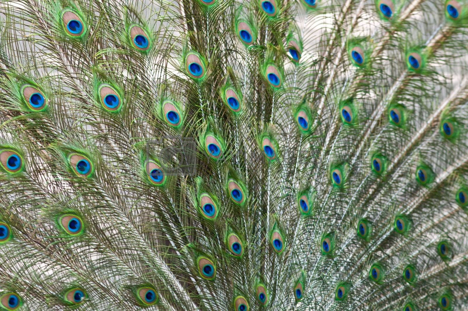 Picture of a beautiful male peacock with colorful tail on display.