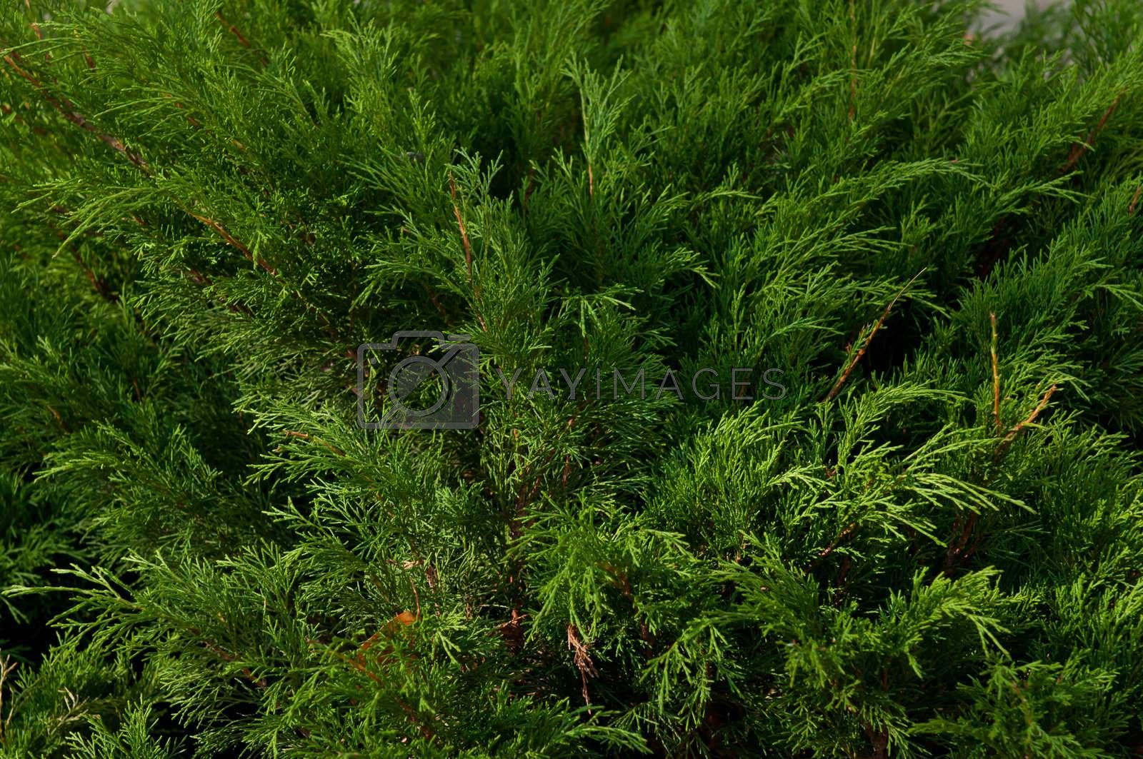 Thuja background. Green arborvitae branch. Branch of thuja tree.
