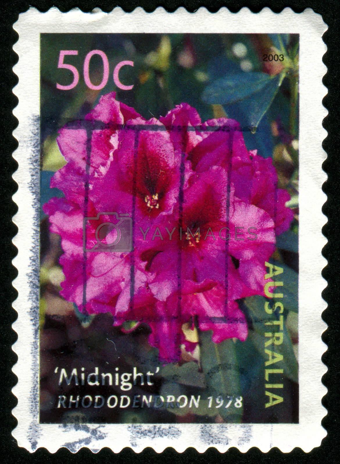 AUSTRALIA - CIRCA 2003: stamp printed by Australia, shows Midnight rhododendron, circa 2003