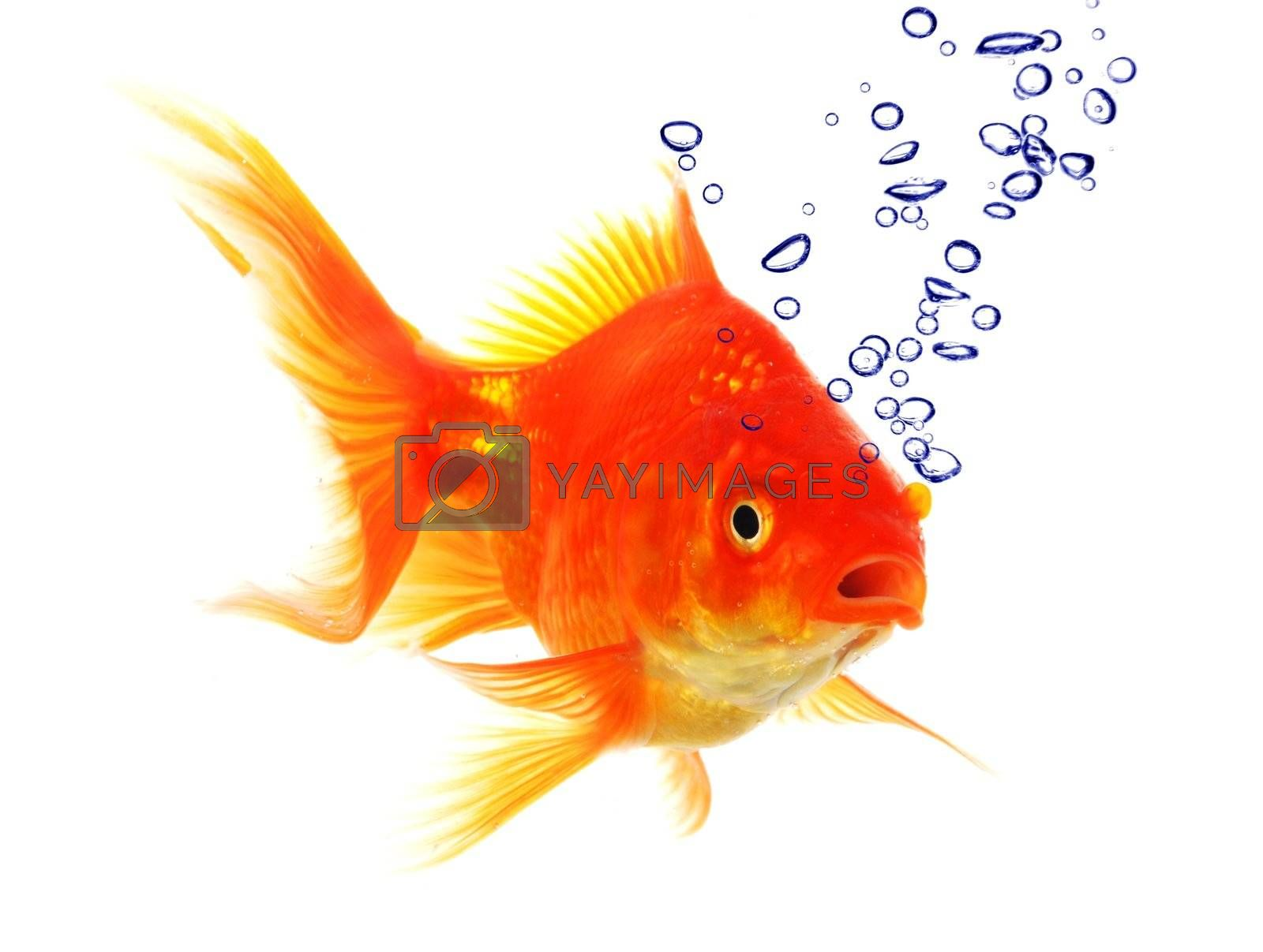 Royalty free image of goldfish and bubbles by gunnar3000