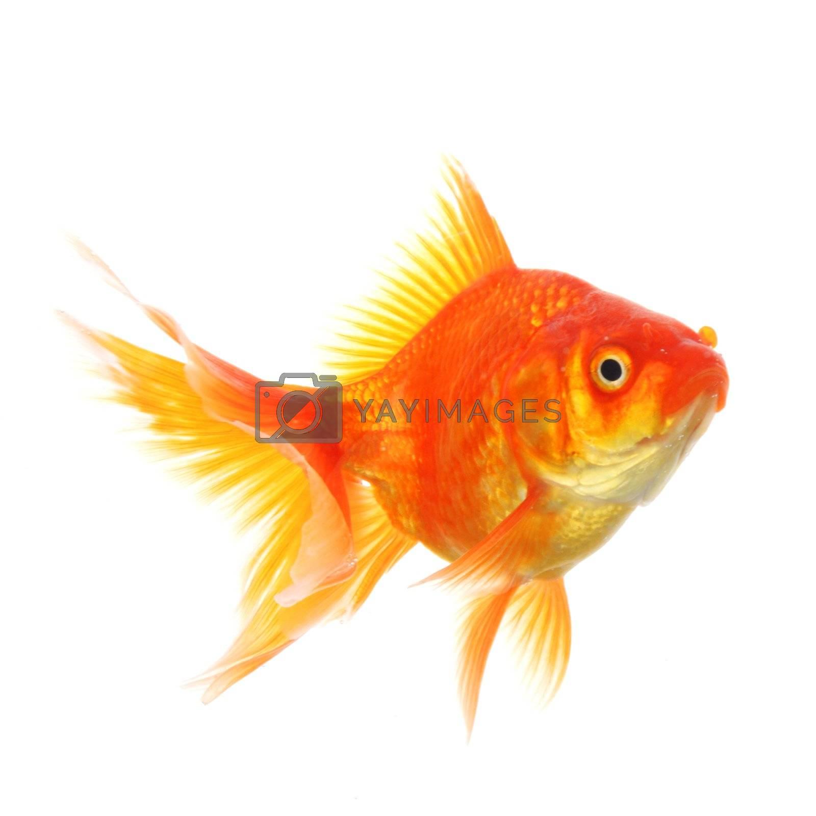 goldfish macro isolated on white background showing pet or animal concept