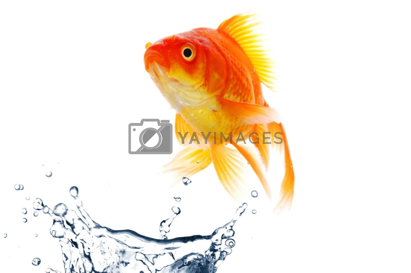 Royalty free image of goldfish by gunnar3000