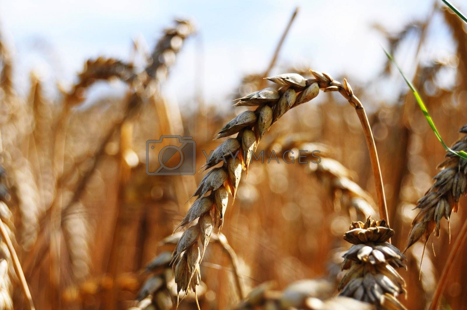 wheet grain on a summer field with sky showing food concept