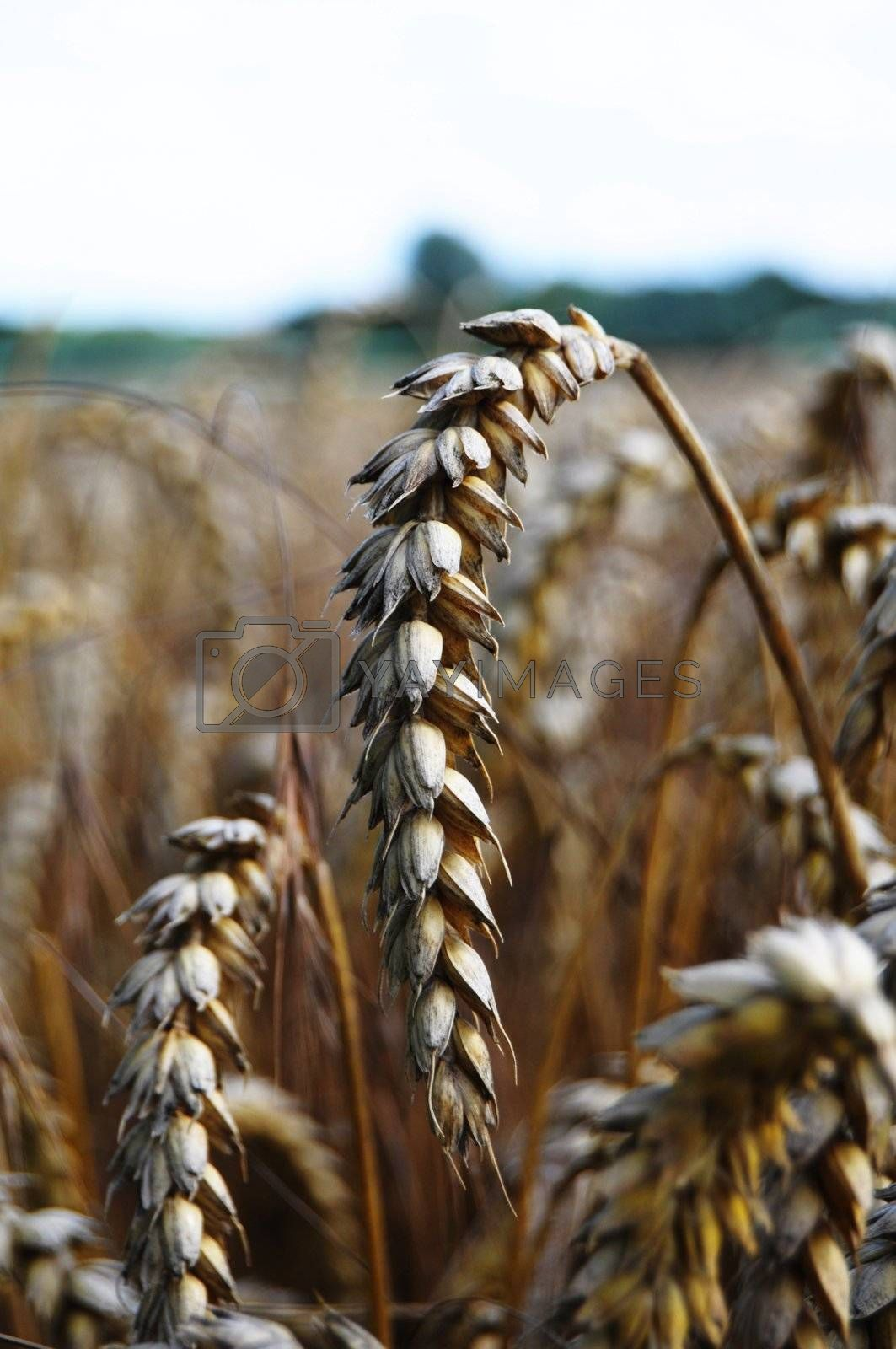 Royalty free image of wheat grain by gunnar3000
