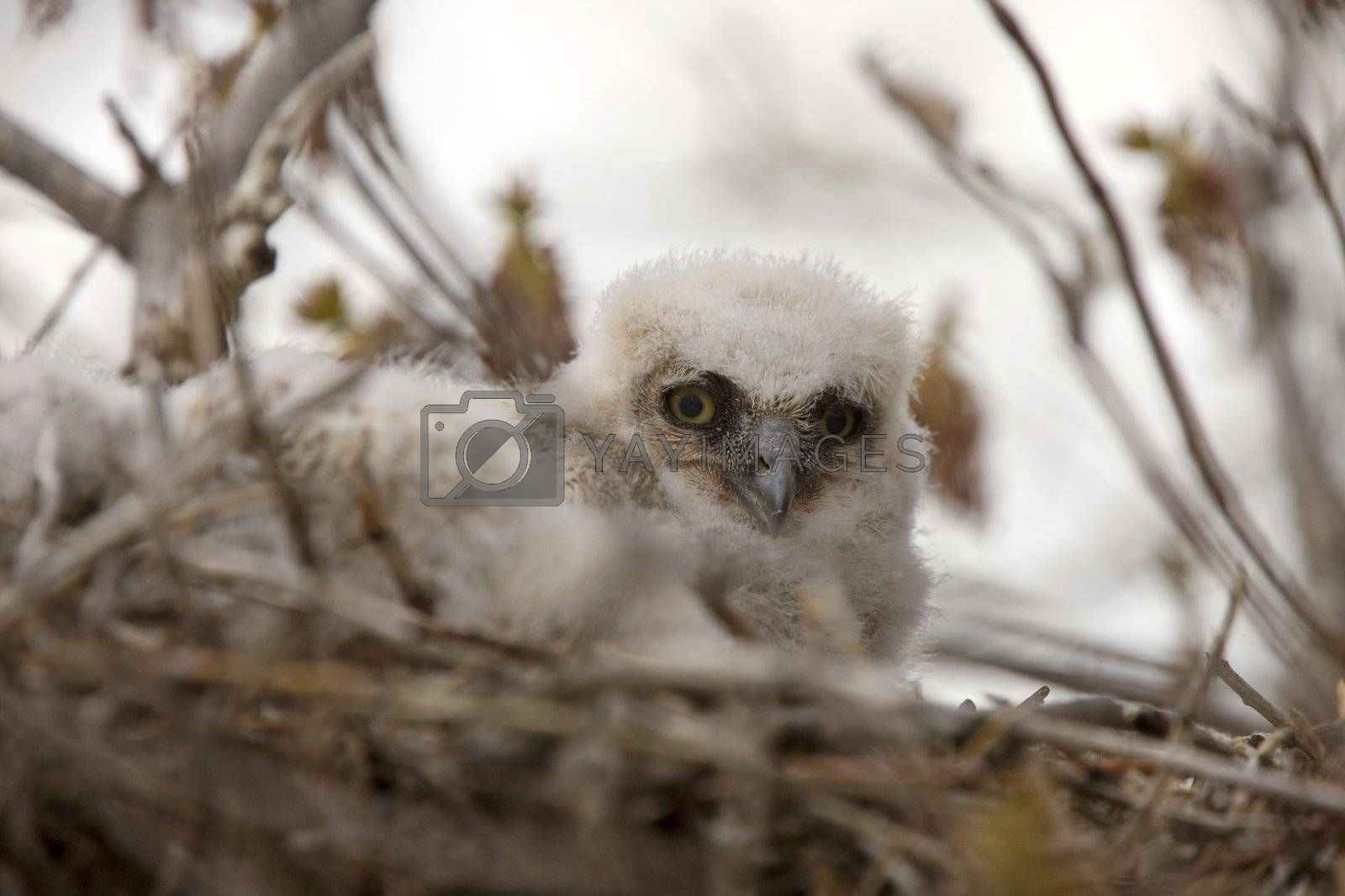 Great Horned Owl Babies in Nest