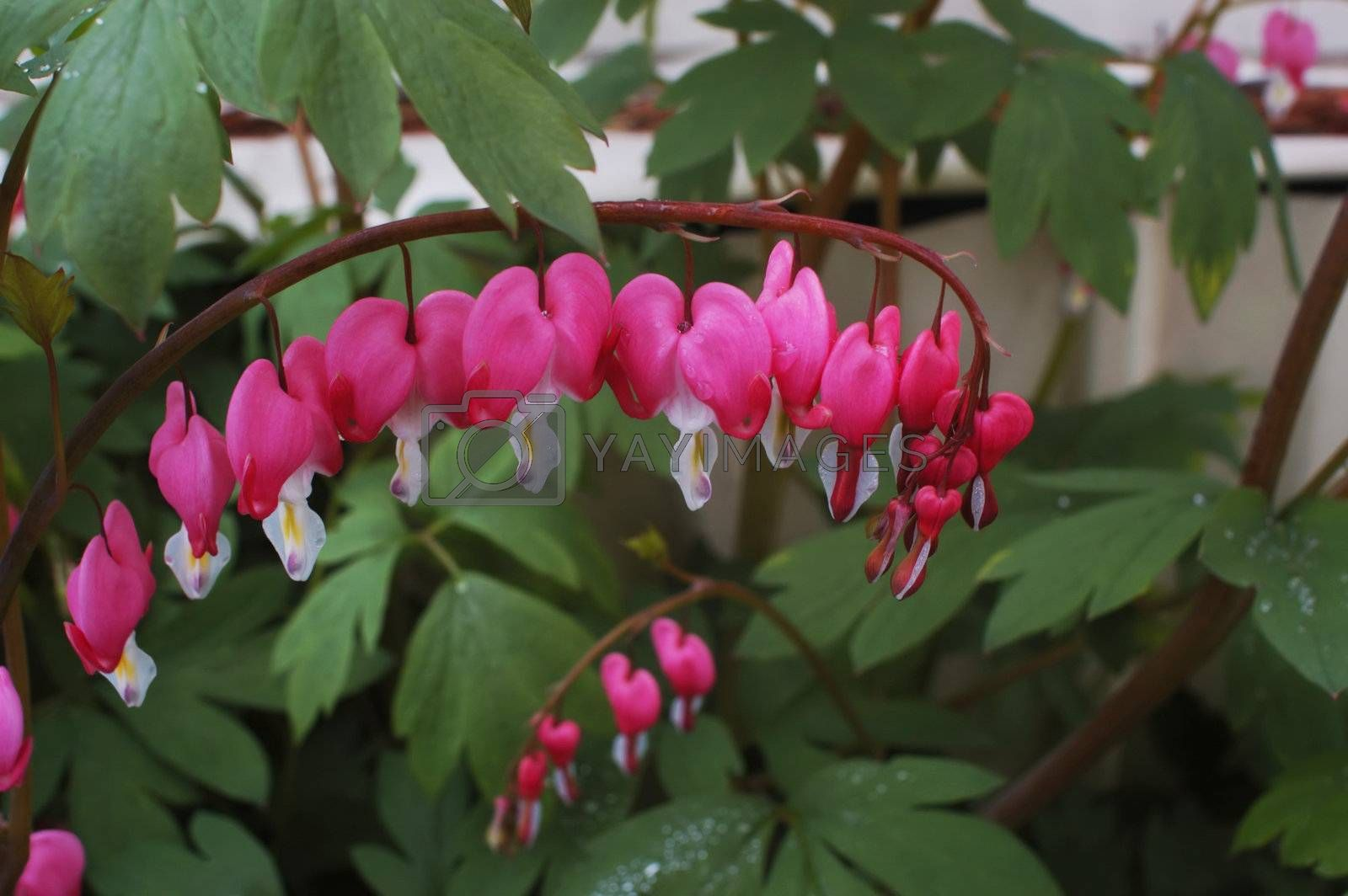 A branch of bleeding hearts hang delicately from the parent plant after a soft spring rain.