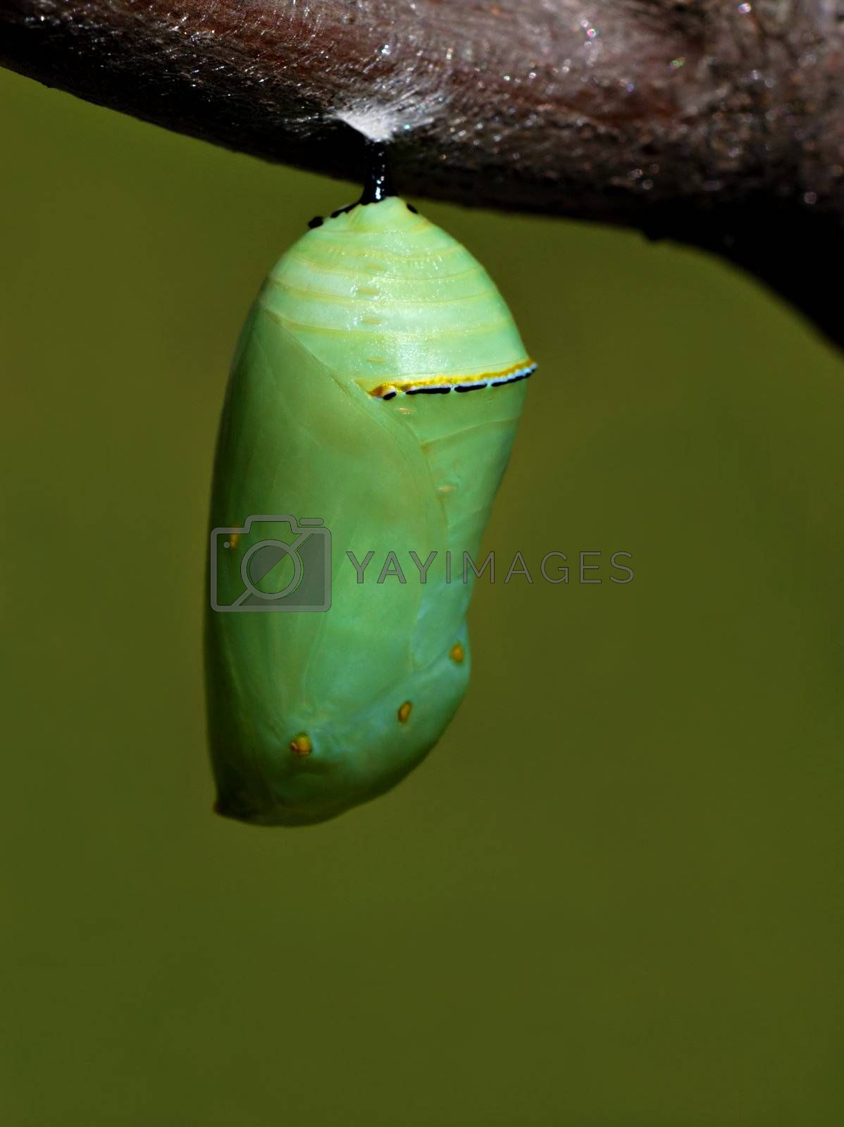 The beautiful jade green monarch butterfly chrysalis hanging from a tree branch.