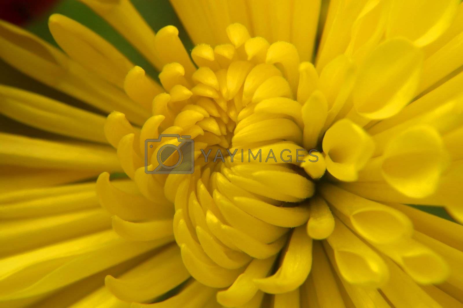 A very close macro of the center of a Chrysanthemum! The petals are beautiful as they curl in their slow paced opening.
