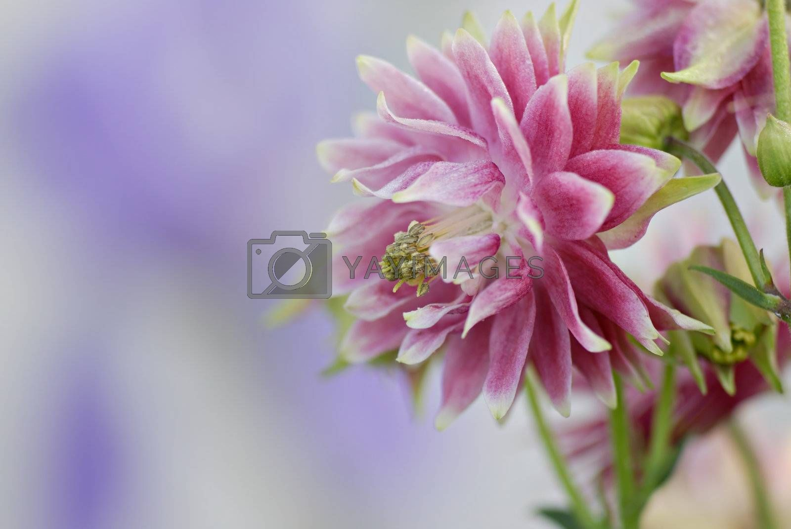 Pink & white delicate beautiful Columbine flower. Shallow depth of field with purple blur background.
