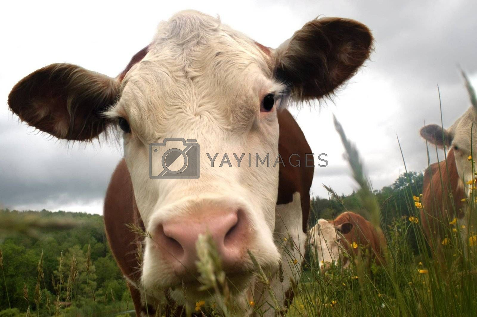My all time favorite humorous cow photo. I love the perspective here...almost fish eyed as this herford comes in for a very close look at the viewer.