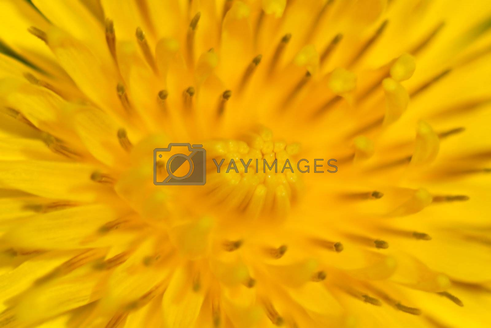 An extreme macro of the center of a dandelion. This image is intended to be a soft focus abstract so as to be a beautiful background without being too distracting and busy.