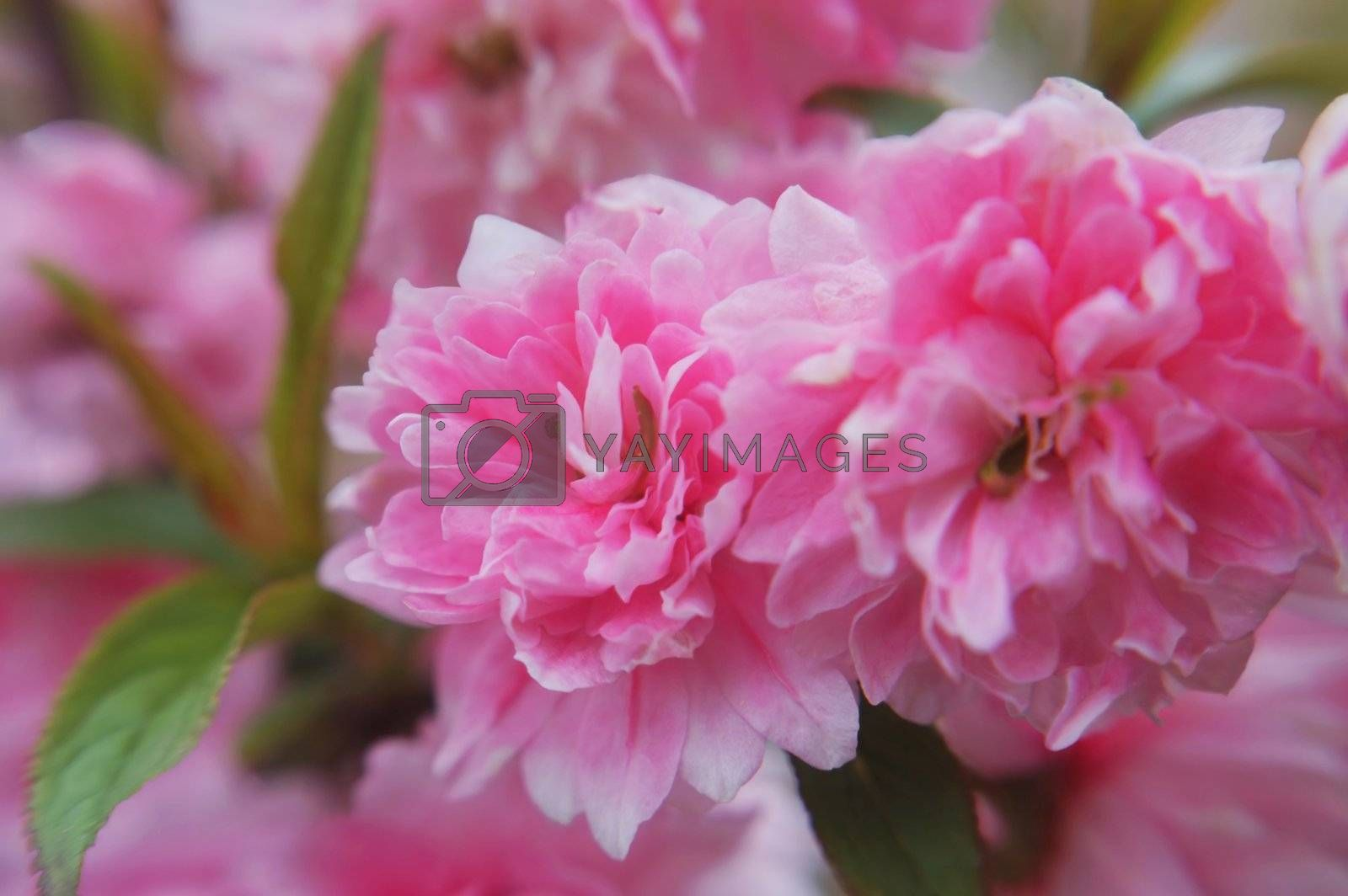The delicate & fragile tiny blooms of a pink flowering almond-macro.