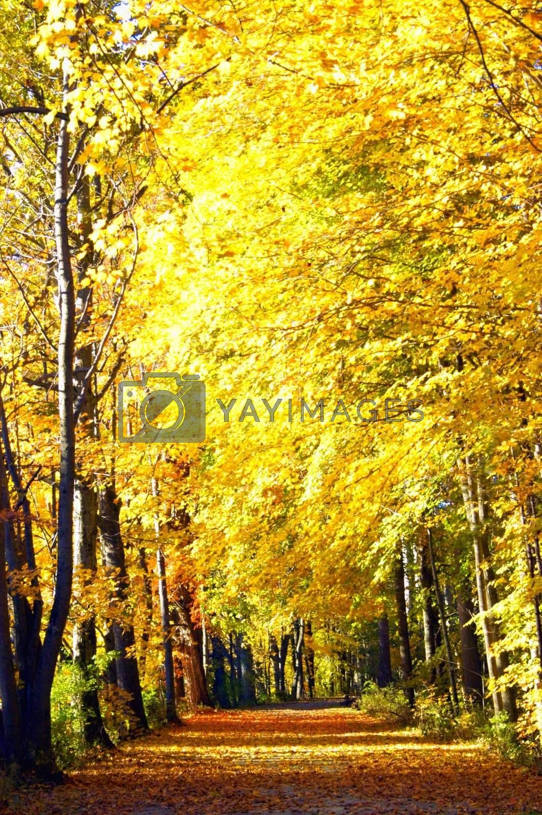 Beautiful golden leaves and trees lined pathway