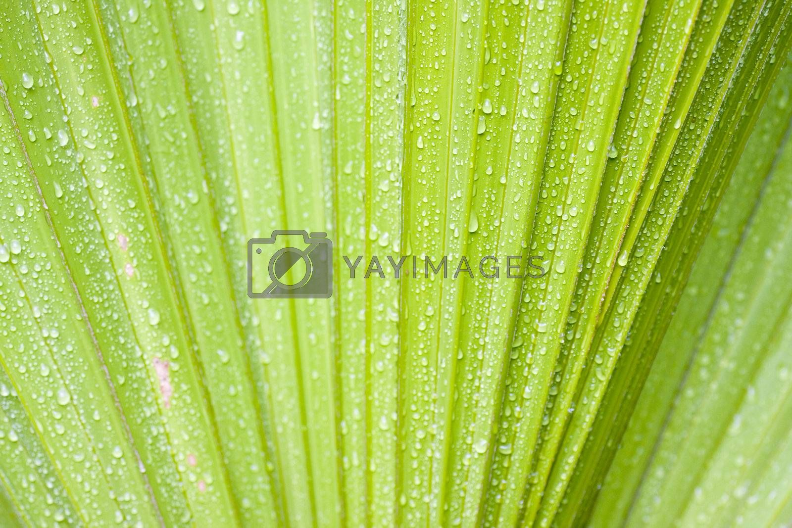 Waterdrops on the leaf of a tropical palm tree. Brazil.