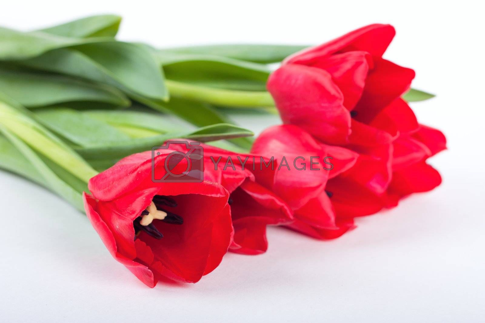 Bunch of fresh red tulips