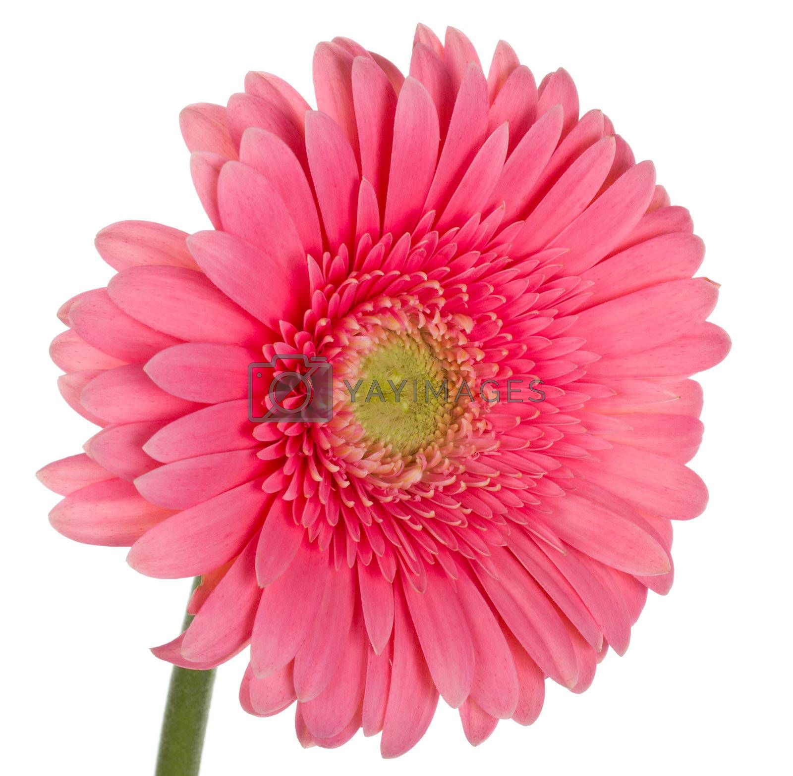 close-up pink gerbera flower, isolated on white