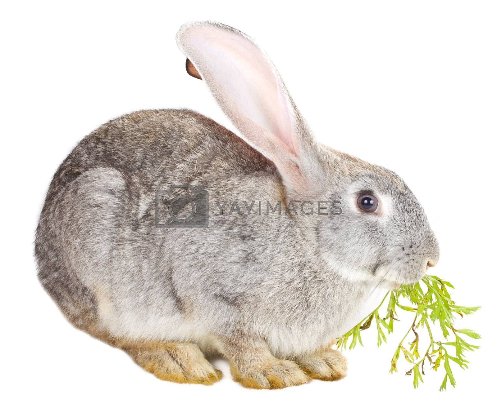 close-up gray rabbit eating carrot leaf, isolated on white