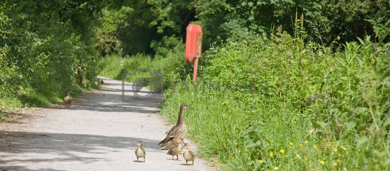 Mother duck takes her three babies for their first walk along the cannal bank