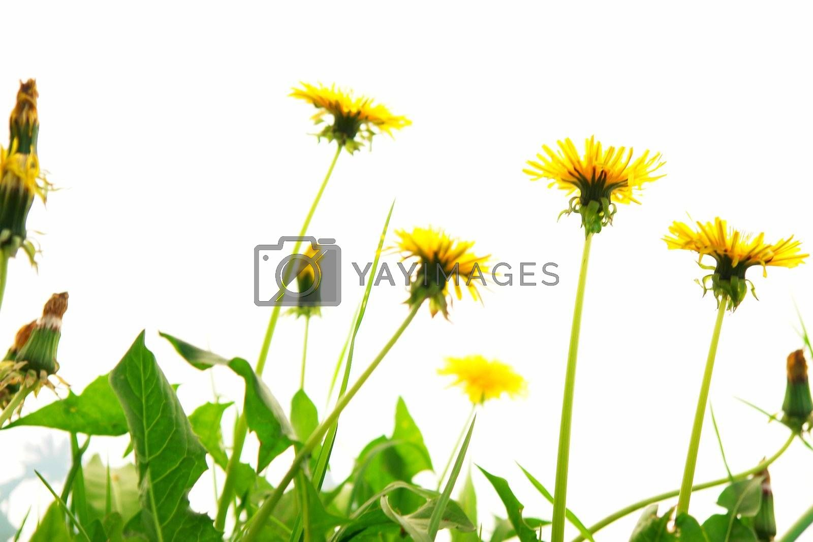 Springflowers isolated on white background with grass and soil...........