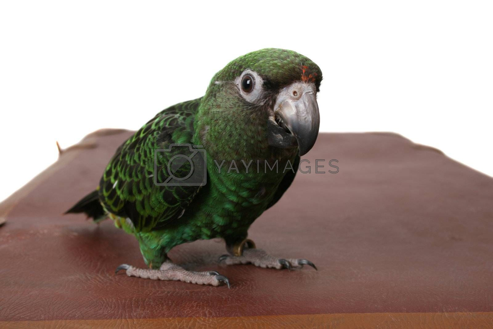 Jardine Parrot by vanell