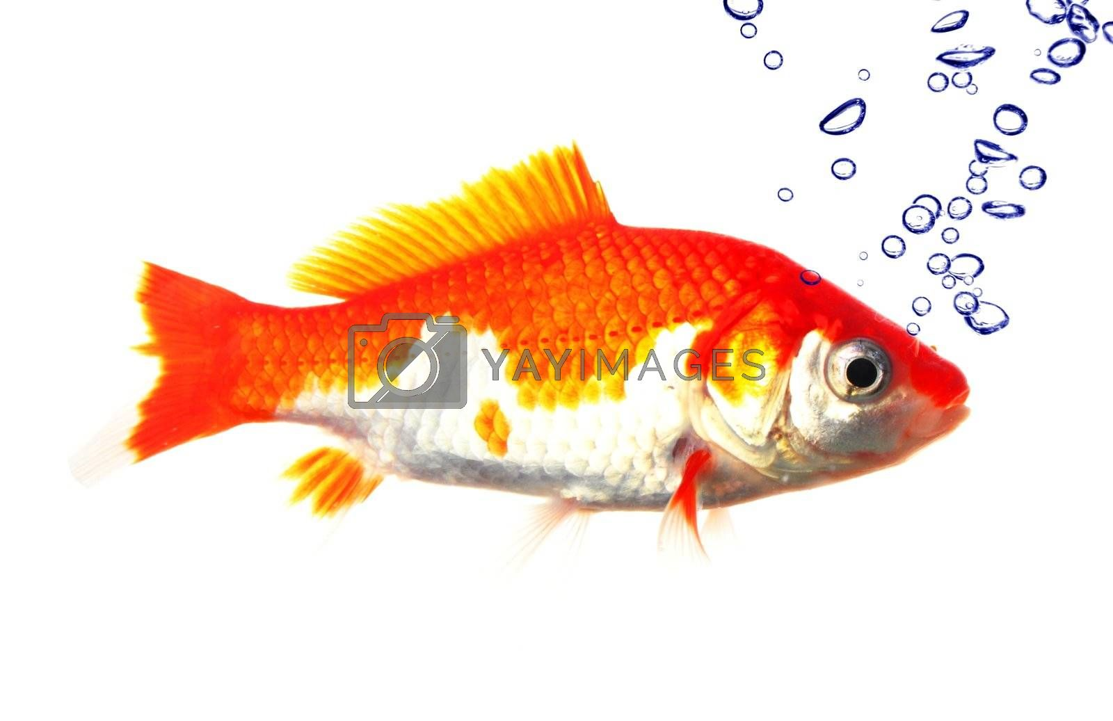 goldfish and bubbles isolated on white background