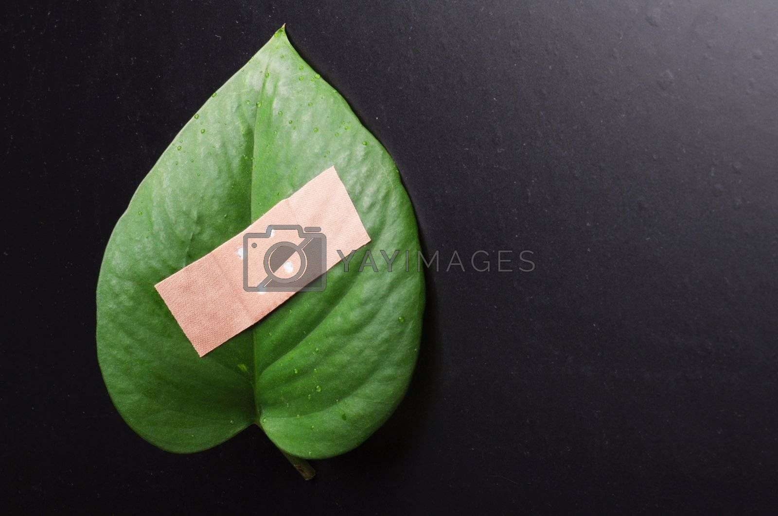 eco ecology or nature protection concept with leaf and band aid on black