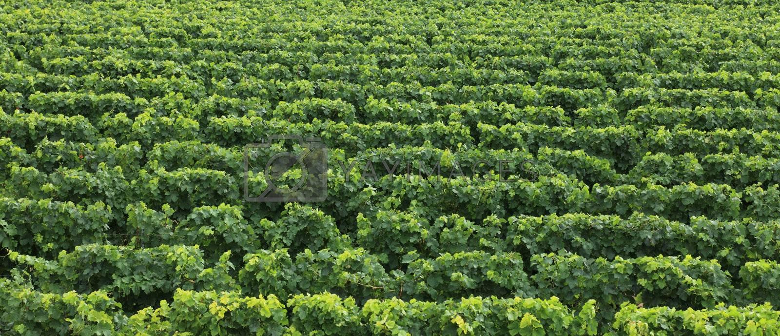 Upper image of a vineyard creating an interesting green natural texture.