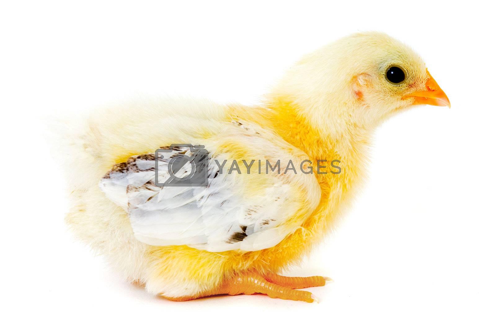 Chicken baby by cfoto