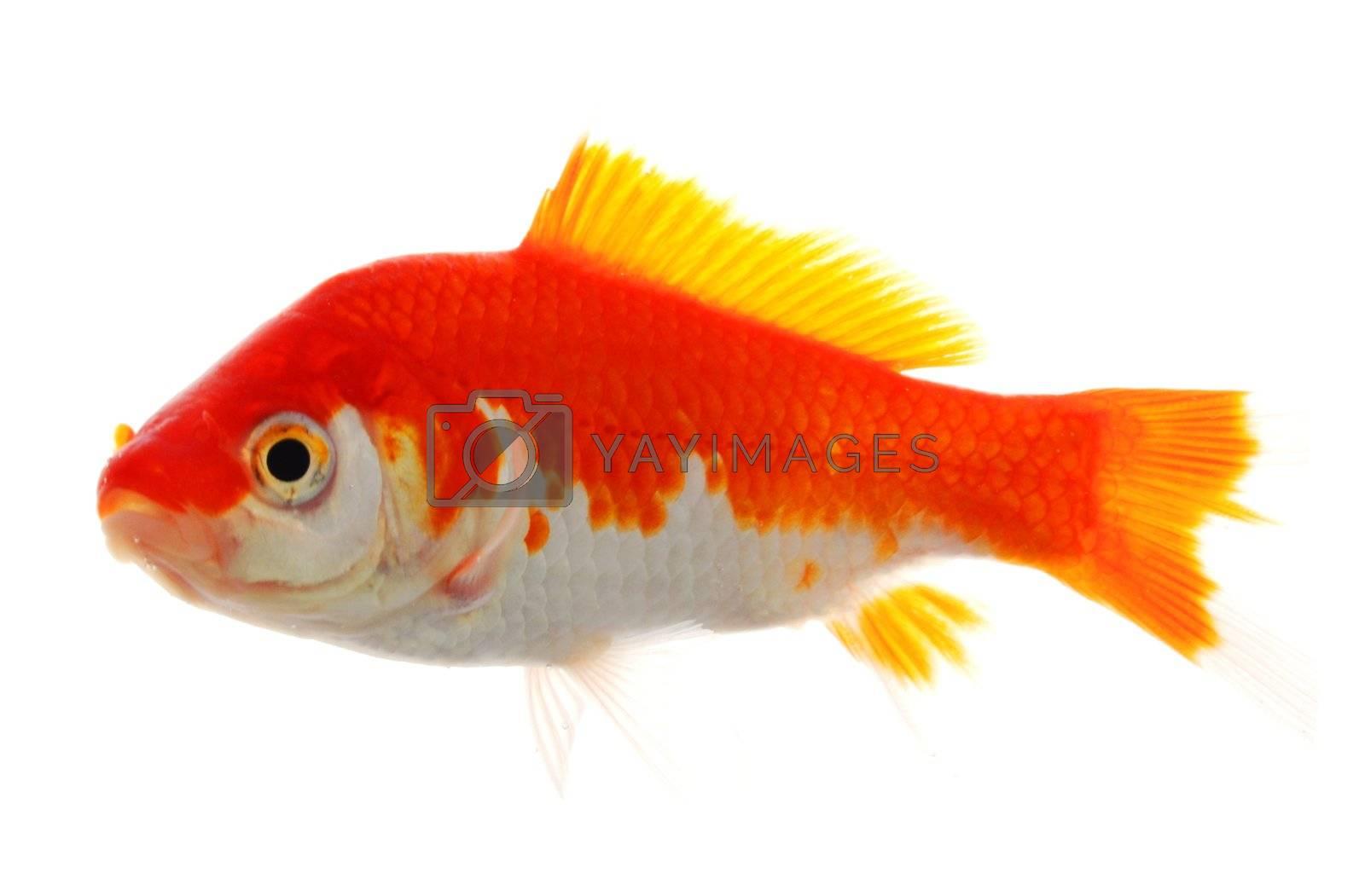high quality image of goldfish swimming isolated on white background