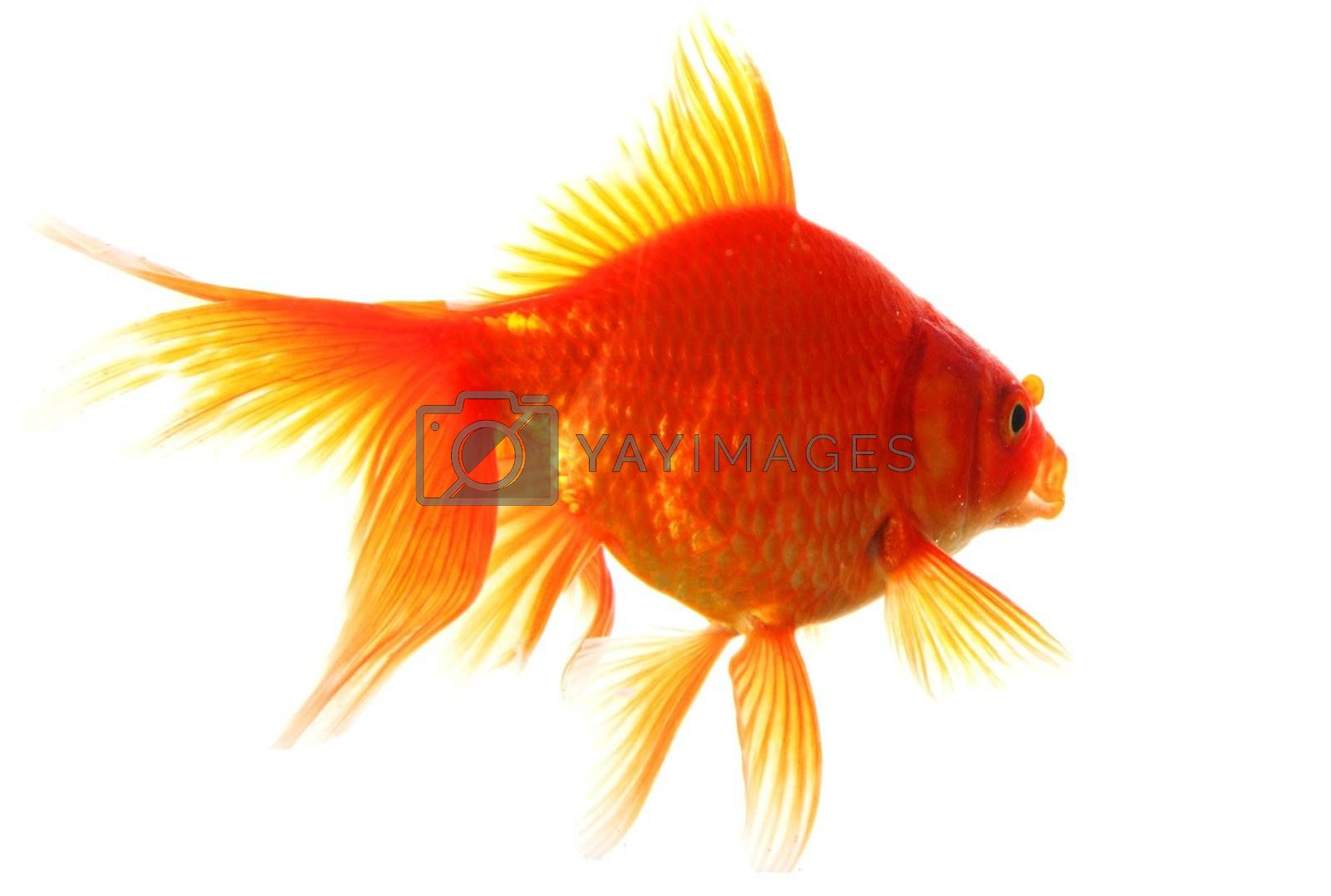 goldfish isolated on white showing success or job search concept