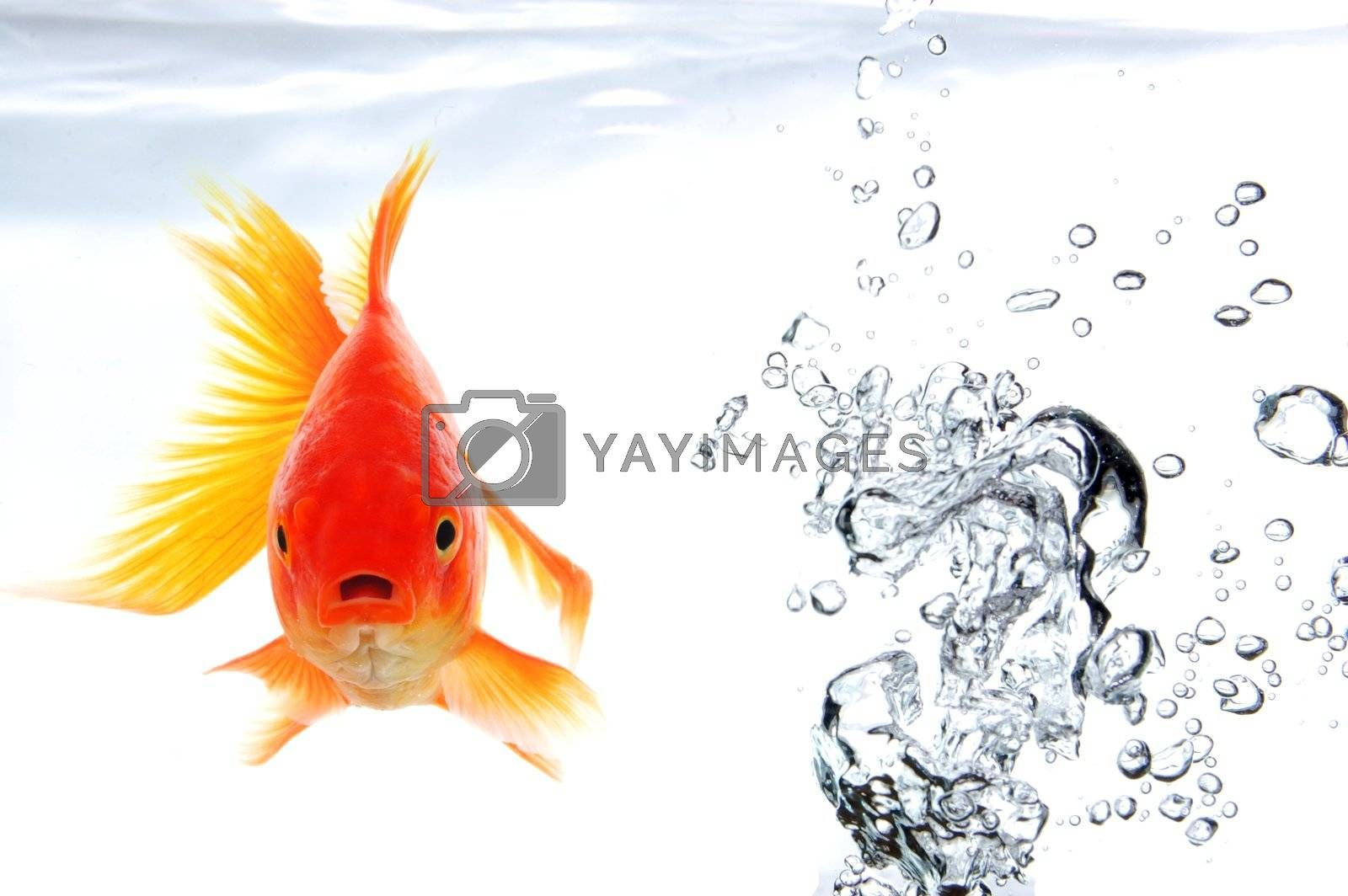 swimming goldfish in fishtank with water or air bubbles