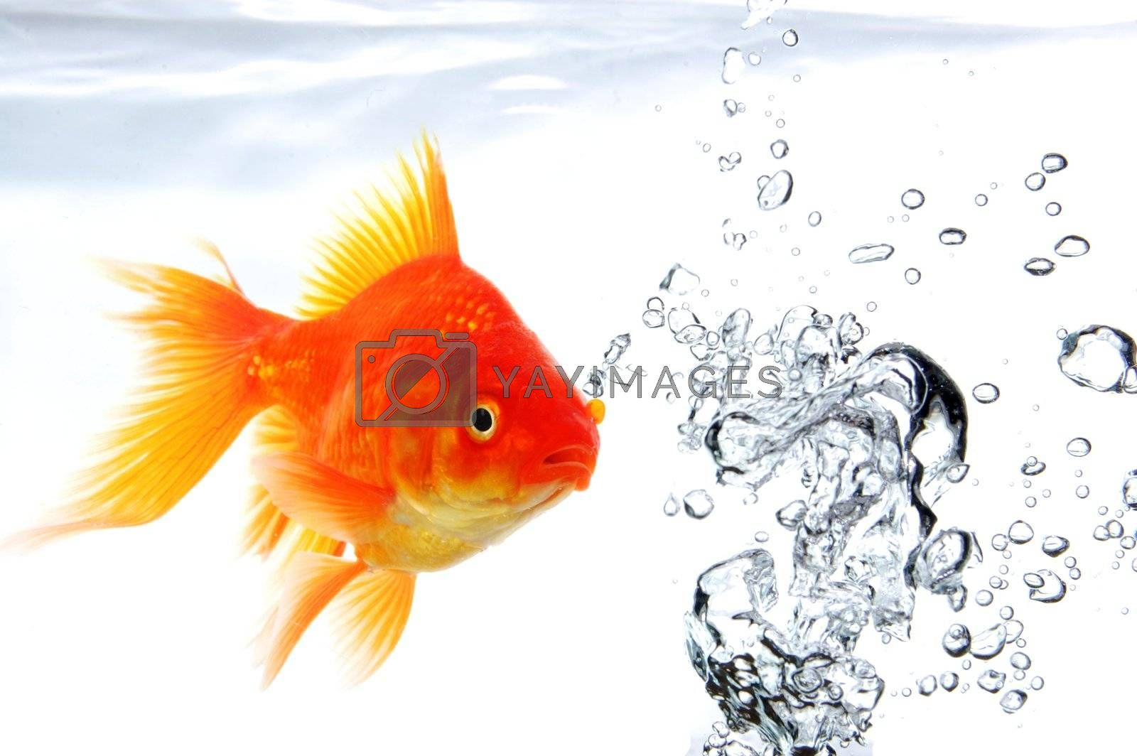 goldfish swimming in water or fishtank with air bubbles