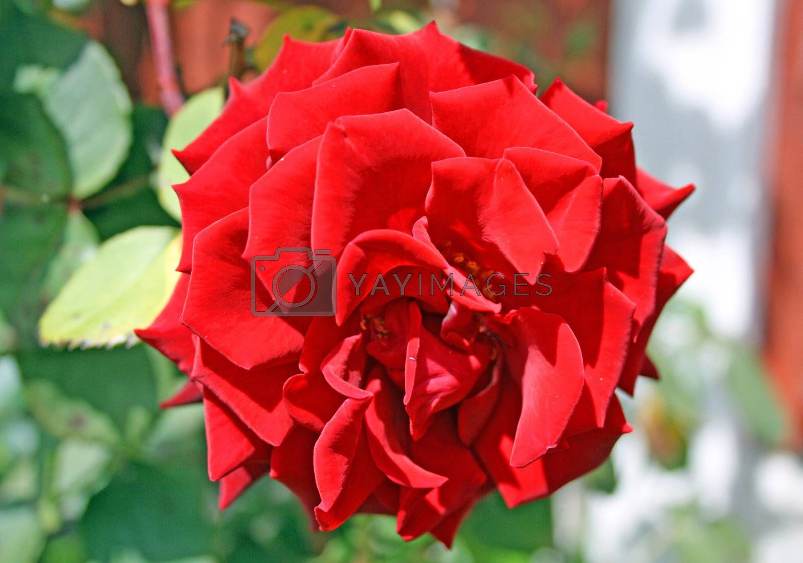a beautiful red rose in full bloom