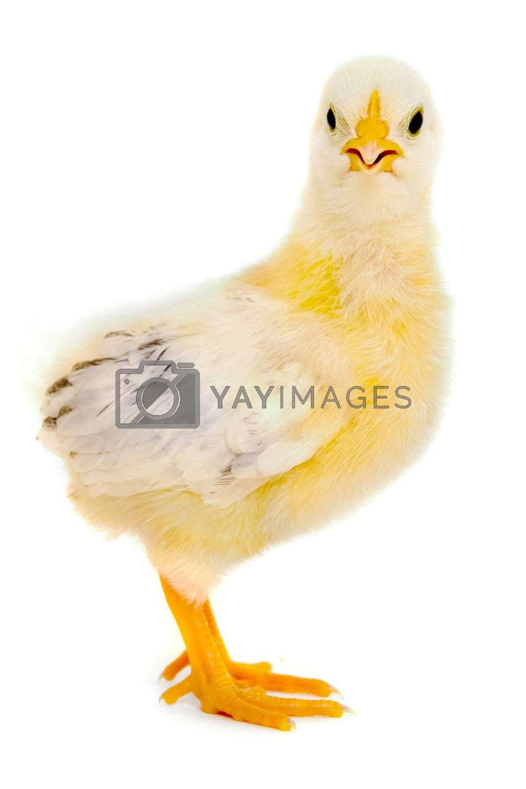 Sweet baby chicken is standing on a clean white background.