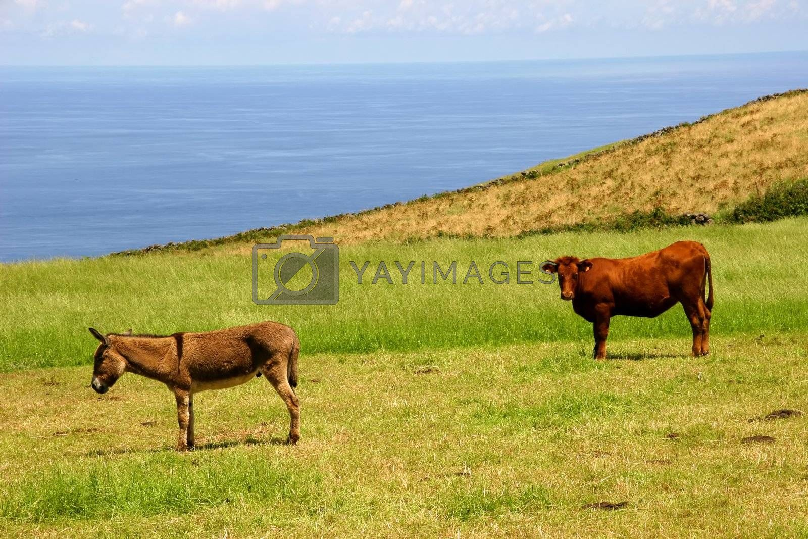 farm animals at the coast