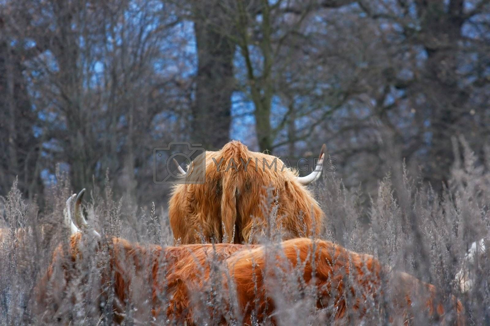 Big hairy animals in a winter forest
