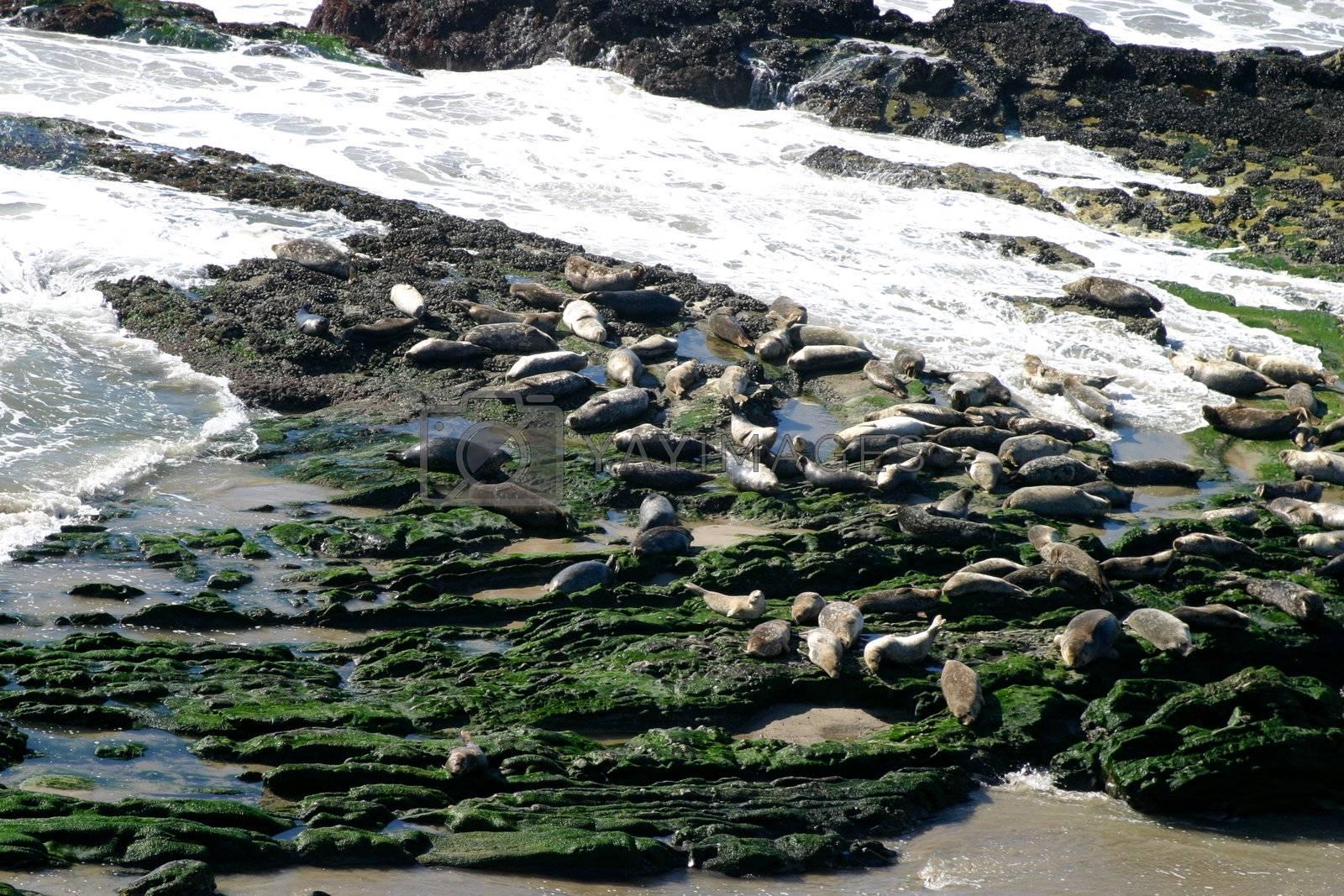 Seals (5313) by hlehnerer
